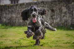 "Receive fantastic ideas on ""cocker spaniel dog"". They are offered for you on our site. American Cocker Spaniel, Cocker Spaniel Dog, I Love Dogs, English Cocker, Animals, Doggies, Nikon, Costa, Ideas"