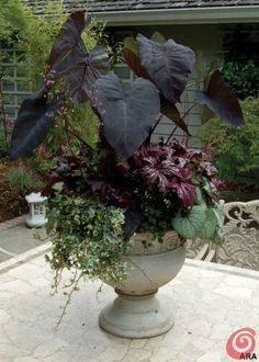 Colocasia 'Black Magic', Brunnera 'Jack Frost', Begonia rex 'Benitochiba', Heuchera 'Black Beauty', Hedera helix 'Gold Child'