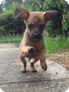 Portsmouth Nh Chihuahua Mix Meet Jax A Puppy For Adoption
