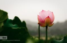 Lotus by Duothink #nature
