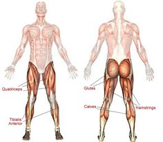 Hamstrings  These muscles, which form the back of the thigh, flex your knee and extend your hip.