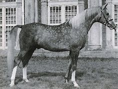 Indian Magic (1944 grey stallion) Raktha x Indian Crown by Raseem. Bred by Lady Wentworth, Crabbet Stud. INDIAN MAGIC became a legend in his own time. One of the most famous Arabians in England in the post war era, an important sire for both Lady Wentworth & later Cecil Covey when he inherited the Crabbet Stud. Other photo in Arab Horse Families of Great Britain.