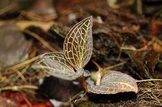 Jewel Orchid - Anoectochilus albolineatus