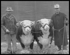 back in the day...this is how cattle was raised.