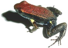 For nonpoisonous frogs, the trick to not becoming dinner is to look poisonous, but not too poisonous. Scientists studied frogs in the Amazon rain forest in Ecuador, and this non-toxic frog, Allobates zaparo, has colorful patterns that tell predators that it is toxic and would not make a good meal. Although A. zaparo can't actually back up this threat, its coloration fools predators into looking elsewhere for food.
