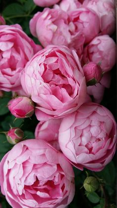 Latest Images pink Peonies Popular The peony is actually outrageously wonderful in bloom through early spring to be able to summer—along with Pink Peonies, Pink Roses, Pink Flowers, Tea Roses, Exotic Flowers, Yellow Roses, Fresh Flowers, Peonies Bouquet, Bouquets