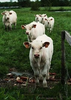 My grandfather (whom I saw in many photos, and my uncle-where I spent much of my summers with our cousins) raised cattle~precious, precious memories~