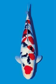 Koi Fish Pond, Koi Carp, Koi Ponds, Koi Fish Colors, Carpe, Japanese Koi, Goldfish, Animals And Pets, Illustration