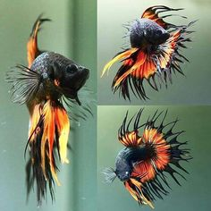 How Long Do Betta Fish Live? years is a common life-span of a domesticated betta fish, nonetheless approximately 6 years is very achievable as well as 10 can be done! Pretty Fish, Cool Fish, Beautiful Fish, Animals Beautiful, Betta Fish Types, Betta Fish Care, Colorful Fish, Tropical Fish, Betta Tank