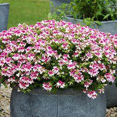 beautiful Geraniums Geranium 'Angel Eyes' mixed collection - 12 plants