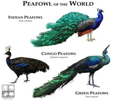 Peafowl of the World.....ROGER D HALL.....a scientific illustrator specializing in wildlife and architectural subjects....predominantly self-taught....works with pen and ink....artwork has appeared in numerous media (newspaper, books, website, etc)....a Minnesota native now based in Oakland, California....associated with several zoos and aquariums in the US