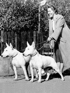Vintage Bull Terriers, 1950s.