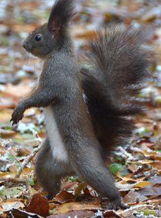 un écureuil qui imite un soldat