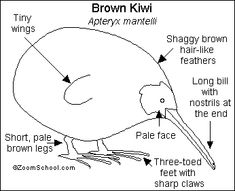 Did you know? The Kiwi is a tiny bird that can't fly and