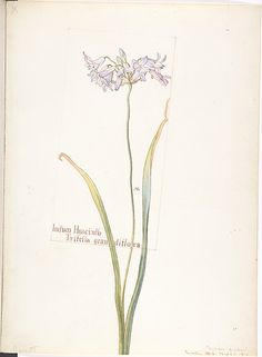 Indian Hyacinth, Tritelia grandiflora Margaret Neilson Armstrong (American, New York Nature Illustration, Pattern Illustration, Floral Illustrations, Botanical Drawings, Botanical Prints, Western Wild, Plant Drawing, Plant Pictures, Floral Photography