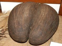 Insolite : La coco-fesses des Seychelles, plus grosse graine du monde !  Le cocotier de mer (Lodoicea maldivica) est un palmier de la famille des Arécacées, originaire des Seychelles qui produit la plus grosse graine du monde, surnommée coco-fesses >>> http://www.alsagarden.com/blog/lodoicea-maldivica-coco-fesses-graines-rares/