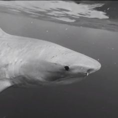 Diving with @oneoceandiving and @gopro watch this beautiful #tiger #shark in #blackandwhite #gopro #hawaii