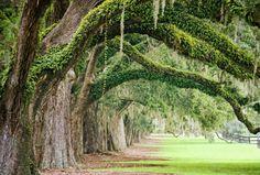 Spanisches Moos - Louisianamoos / Spanish Moss + Savannah, Georgia - Vereinigte Staaten von Amerika / United States of America / USA