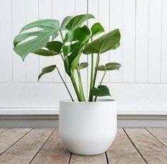 30 Great Small Low Light Indoor Plant Ideas for your home!#great #home #ideas #indoor #light #plant #small Big Plants, Faux Plants, Cool Plants, Garden Plants, Succulent Plants, Foliage Plants, Best Potted Plants, Garden Water, Landscaping Plants