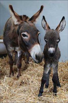 For Mothers Day, see mom and baby animals at the Dallas Zoo Corgi Rug! Donkey & Mule Society of New Zealand (Inc. Baby Donkey, Cute Donkey, Baby Cows, Cute Funny Animals, Cute Baby Animals, Animals And Pets, Wild Animals, Beautiful Horses, Animals Beautiful