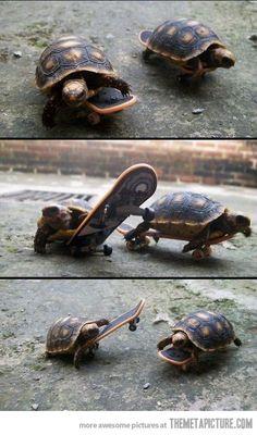 Tortugas tonto ...