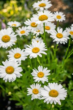 Botanical Name Leucanthemum x superbum Plant Type Flower Sun Exposure Full Sun Soil Type Any Soil pH Bloom Time Summer, Fall Flower Color White Hardiness Zones 8 Special Features Attracts Butterflies Fall Flowers, White Flowers, Daisy Flowers, Daisy Daisy, Beautiful Flower Arrangements, Beautiful Flowers, Dog Friendly Garden, Shasta Daisies, Birth Month Flowers