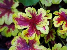 Growing Red Foliage Plants – Learn About Plants With Red Leaves Red Grass, Fountain Grass, Coral Bells, Red Rooster, Foliage Plants, Spring Blooms, Small Plants, Red Accents, Begonia