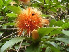 Stifftia chrysantha J.C. Mikan