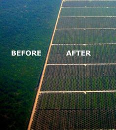 Seeds of Destructions. Oil Palm replacing tropical rainforest in Sarawak, Malasya
