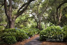 Orton Plantation Scenic Walkway Brusnwick County NC Photograph by Jo Ann Tomaselli - Orton Plantation Scenic Walkway Brusnwick County NC Fine Art Prints and Posters for Sale jo-ann-tomaselli.artistwebsites.com #joanntomaselli #fineartphotography #landscapephotography