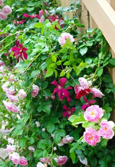 stunning combination - Clematis 'Madam Julia Correvon' blooming with our pink climbing rose.
