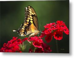 Giant Swallowtail Butterfly Metal Print by Christina Rollo.  All metal prints…