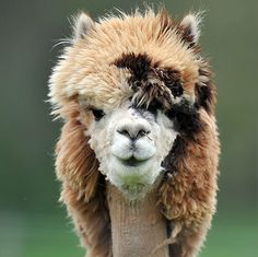 An adorable looking sheared alpaca.