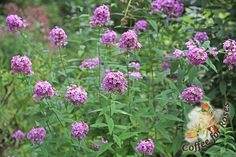 Phlox 'Jeana' flowers for a long time, is tolerant of part shade, and attracts butterflies. And there's more: it's highly mildew resistant a...