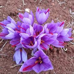 Flor del azafrán en Campillo de Altobuey (Cuenca)