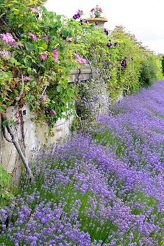 lavender border with pink clematis Lavender Cottage, Lavender Fields, French Lavender, Lavander, Lavender Hedge, Lavender Roses, Garden Types, Clematis, Beautiful Gardens