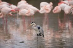 gray heron - gray heron. background group of pink flamingo camargue