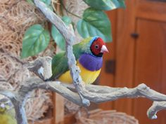 A lovely gouldian finch, 2/2/2015