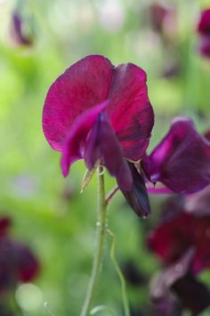 Lathyrus odoratus 'Beaujolais': masses of highly scented burgundy flowers in the summer, through June, July, August. Looking almost black, the blooms make a striking addition to the garden and in floral arrangements. Find out more: http://www.gardenersworld.com/plants/lathyrus-odoratus-beaujolais/4336.html Photo by Jason Ingram