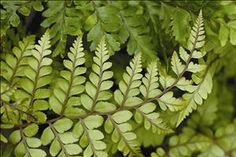 Athyrium otophorum 'Okanum' has been described as being similar to the Japanese Painted #Fern but with more subtle coloring. The sturdy, arching, triangular fronds are silvery green with dark red stems. As the season progresses, the fronds deepen to solid green. Some sun will help to draw out this coloring.    This is a well-behaved, clumping fern that is right at home in woodland gardens combined with blue and gold hostas. Award of Garden Merit from the Royal Horticultural Society $150