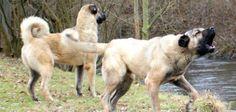 Kangal Köpekleri Kangal Köpekleri   Kangal Köpeği   Kangal Köpek   Eğitimi   Özellikleri   Sivas