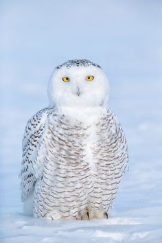 Snowy Owl / Harfang des neiges -                                                                                                                                                                                 More