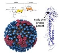 A single amino acid change switches avian influenza and viruses to human receptors Avian Influenza, Influenza Virus, Amino Acids, Crochet Necklace, Science, Crochet Collar, Flag
