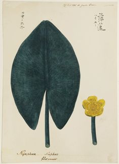 Nuphar japonicum - Keiga Kawahara