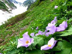 シラネアオイ咲く白馬大雪渓