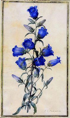 Campanula medium - Canterbury Bells. Pierre Joseph Redoute, 1787.
