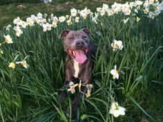 Another photo of a BIG dog enjoying Spring for our Pretty BIG Dog Photography Competition Big Dogs, Cute Dogs, Photography Competitions, Happy Animals, Dog Photography, Pitbulls, Congratulations, Creatures, Pets