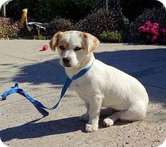 Lathrop, CA - Jack Russell Terrier/Tibetan Spaniel Mix. Meet Midge, a puppy for adoption. http://www.adoptapet.com/pet/15202282-lathrop-california-jack-russell-terrier-mix