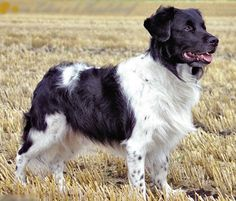 "Wetterhoun / Frisian Water Dog / Otterhoun / Dutch ""Spaniel"" Dog"