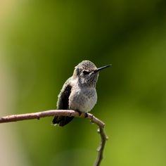 Anna's Hummingbird [OC] [737x737] - http://ift.tt/1pSw8GX
